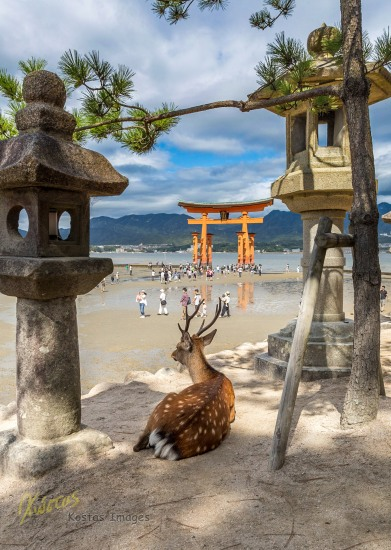 Local Deer observing the tourists and the famous Shrine. Miyajima Island, Hiroshima, Japan.