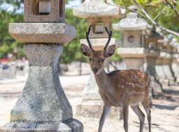 Not all photos are about the Shrine, not when there are so many deers around! Hiroshima, Japan.