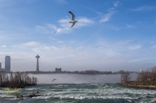 Seagulls looking for a meal in the turbulent water of Niagara River.