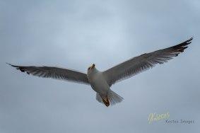 Seagull patrolling. Napoli, Italy