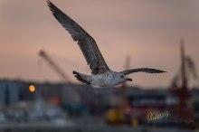 Seagull at port. Napoli, Italy