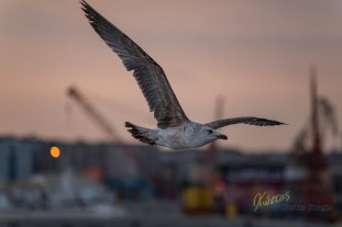 Seagull at port. Napoli, Italy