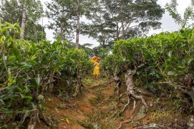 A different percpective. Besides the optical effect that makes the person small, you can see that the tea plants are kept short to give Tea Collectors easy access.