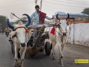 Ox Carriage, Agra, India.