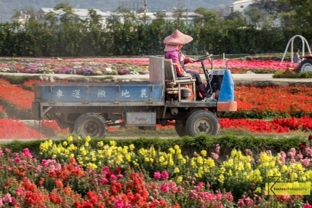 A Florist driving her van among thousand of flowers. The gardeners are doing a tremendous job in keeping up these beautiful views. Taichung, Taiwan.