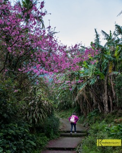 Cherry Blossoms were not easy to find at mid March. This lady showed us the way to a 2km trekking path in the Taiwanese nature leading to a great spot with cherry blossom. We enjoyed walking there. An unforgettable experience. Tamsui, Taiwan.