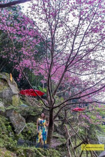 Cherry blossom in Tamsui, Taiwan.